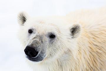 Eisbär, Spitzbergen, Norwegen, Packeis, Nordpol, Wasser, Eisberg