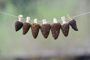 Morel drying - six Black Morel mushrooms on a string