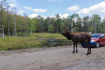 Deers in Parc Omega (Canada)