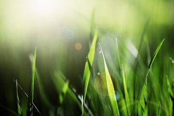 Fresh Green Grass in the Bright Summer Light