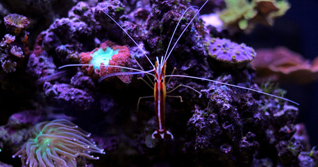 Lysmata cleaner shrimp in coral reef tank