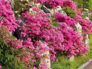 한국 청주시의 진달래 꽃밭