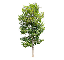 Tree isolated on a white background, tropical trees isolated used for design, with clipping path