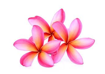 pink frangipani tropical flower, plumeria, Lanthom, Leelawadee flower isolated white background