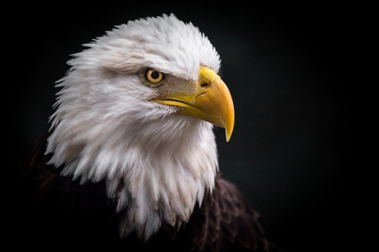 Isolated Angry Eagle Staring Dwon to the Right