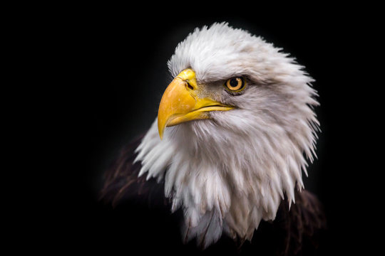 Isolated Angry Eagle Staring to the Left