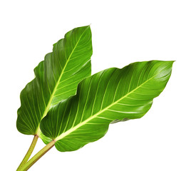 Large leaves of Spathiphyllum or Peace lily, Tropical foliage isolated on white background, with clipping path