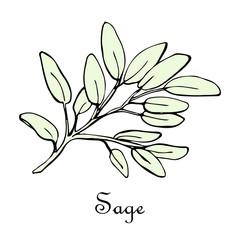 sage, doodle sketch