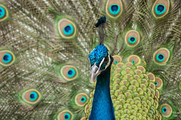 closeup of peacock with colorful plumage