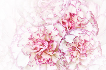 Floral  white-pink background. Flowers of   white-pink carnations. Close-up. Festive postcard. Nature.