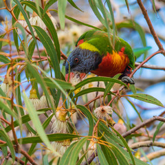 Rainbow Lorikeet eating the gum blossoms