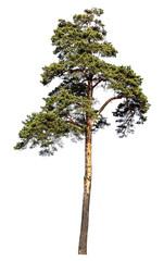 Scotch pine tree. Isolated on white background
