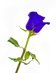 Blue Roses on isolated background colors without background, bright juicy rose,