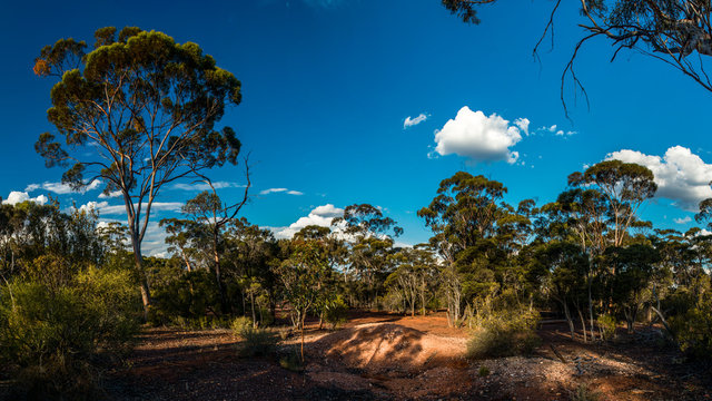 gum tree forest in western australia and blue sky