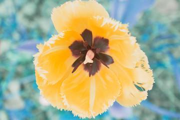 Tulip close-up. Candid.