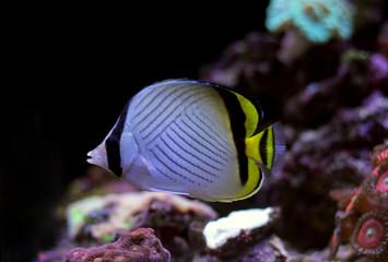 Vagabond Butterfly fish in reef aquarium tank