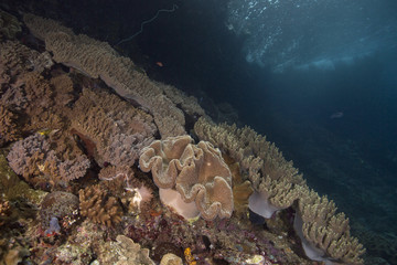 Beautiful  soft corals in the Ceram sea, Misool, West Papua, Indonesia