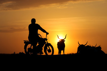Silhouette of cowherd on motorcycle and heard of cow