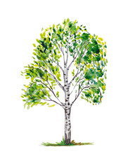Birch trees.Illustrations is isolated, on a white background, painted in watercolor.