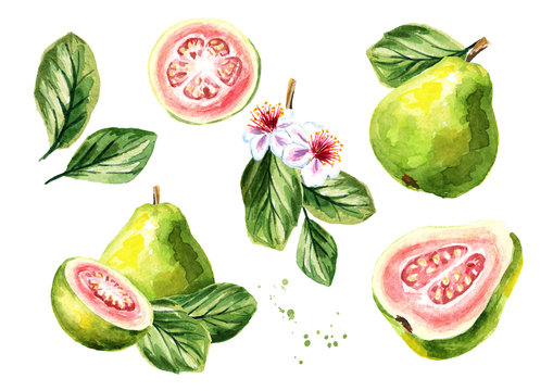 Pink guava fruits composition set. Watercolor hand drawn illustration, isolated on white background
