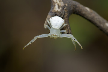 Image of white crab spider (Thomisus spectabilis) on dry branches. Insect Animal.