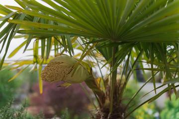 Aufbrechende Blütenrispe einer Hanfpalme