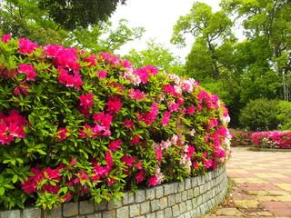 ツツジ咲く公園風景
