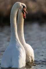 Mute swan (Cygnus olor) couple having a matting ritual dance.