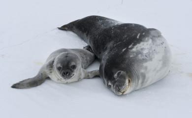 Antarctida seal