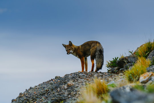 Red fox in the Torres del Paine National Park. Autumn in Patagonia, the Chilean side