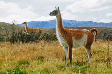Guanaco in the Torres del Paine National Park. Autumn in Patagonia, the Chilean side