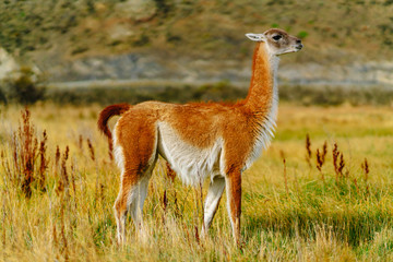 Wall Murals Lama Guanaco in the Torres del Paine National Park. Autumn in Patagonia, the Chilean side
