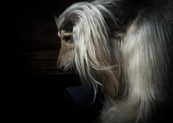 afghan hound portrait on dark background