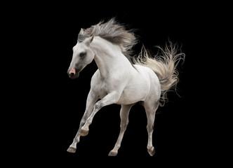 white andalsuian horse isolated on black background