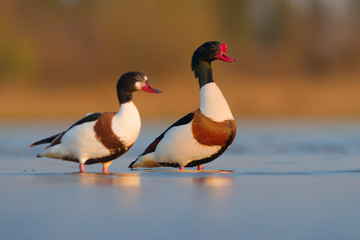 Pair of Common shelduck (Tadorna tadorna). Kinburn peninsula, Ukraine