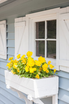 Yellow pansies growing in a white window box on a blue building with white shutters,