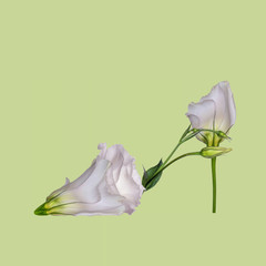 Flower shoe, Lisianthus