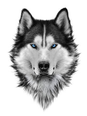 Illustration portrait of siberian husky, blue eyes, hair and mane, confident dog, militant look. Hand drawing.
