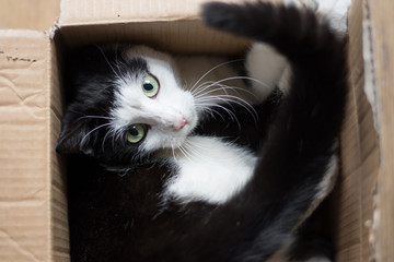Cute black and white kitten hidden in a cardboard box - looking straight in the camera