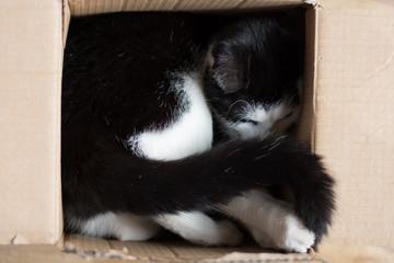 Cute black and white kitten hidden in a cardboard box