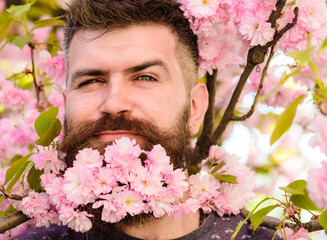 Barber and hair care concept. Man with beard and mustache on cunning face near pink flowers, close up. Hipster with sakura blossom bouquet in beard. Bearded man with sakura on background, defocused.