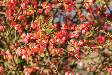 Chaenomeles branch in blossom. Flower of Maule quince