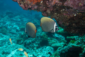 Redtail butterfly fishes at Richelieu rock in the  Mu Koh Surin marine park, Thailand