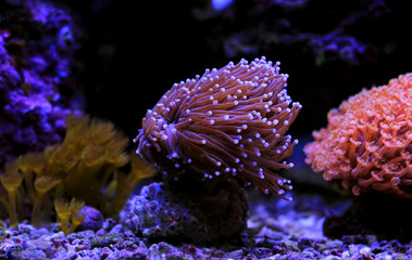 Purple euphyllia torch lps coral in reef tank