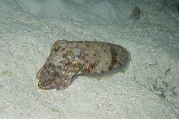 Thailand: Cuttlefish in the coral sand