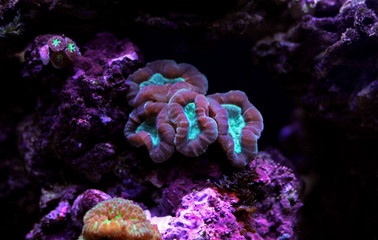 Caulastrea LPS coral in reef aquarium tank