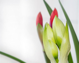 Fresh amaryllis flower buds close up, beautiful and gorgeous bouquet flower with magnificent blooming