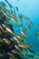 Thailand: Huge swarm of Fusilier fishes at Richelieu Rock