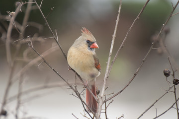 Printed roller blinds Bird close-up female bird northern cardinal from virginia