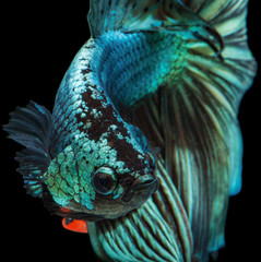 Deurstickers Vissen siamese fighting fish